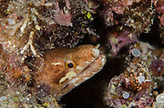Barred-fin Moray Eel (Gymnothorax zonipectis)<br /> Cenderawasih Bay<br /> West Papua<br /> Indonesia