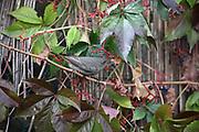 Black Redstart, Phoenicurus ochruros, female eating a berry, Brazil