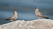 Pair of Rock Pratincole (Glareola nuchalis) from Murchison Falls, Uganda.