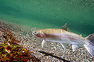 Steelhead<br /> <br /> Patrick Clayton/Engbretson Underwater Photography