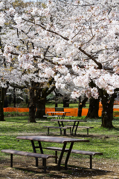 Benches and tables  remain unused as part of the measures to avoid people gathering for Hanami parties under the cherry blossoms in Yoyogi Park, Shibuya, Tokyo, Japan. Friday March 26th 2021, Though Tokyo lifted its Coronavirus State of  Emergency at midnight on March 21st the annual Hanami , cherry blossom parties and other gatherings of large number of people are still limited and discouraged.