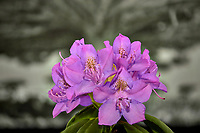 Cluster of rhododendron blooms in a light box. Composite of 18 focus stacked images taken with a Nikon Df camera and 105 mm f/2.8 VR macro lens (ISO 100, 105 mm, f/4, 1/125 sec). Focus composite processed with Helicon Focus (Method B, R=8, S=4)