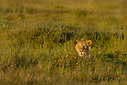 Young male lion hiding in the grass