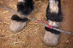 Donkey's foot tied to a line with string which has worn away the animals hair and skin due to repeated use, Ourika souk, Morocco.