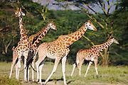A family of Rothchild giraffes ( Giraffa camelopardalis rothschildi) playing, Lake Nakuru, Kenya