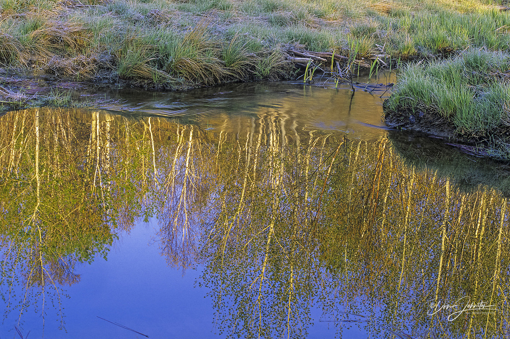 Birch tree reflections and emerging green grasses in beaver pond, Greater Sudbury, Ontario, Canada