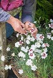 Deadheading Dianthus 'Glebe Cottage White'