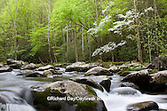 66745-04205 Dogwood trees in spring along Middle Prong Little River, Tremont Area, Great Smoky Mountains National Park, TN