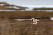 A Short-Eared Owl (Asio flammeus) hunts for food by flying along the edge of Boundary Bay in British Columbia, Canada. The Short-Eared Owl has one of the widest distributions of any bird, found on all continents except Australia and Antarctica.