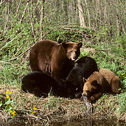 Black Bear, (Ursus americanus) Minnesota, yearling cubs and sow feeding on sucker fish caught from stream. Spring.