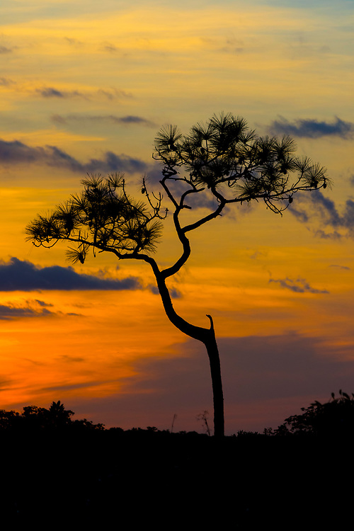 November 10, 2016: The sun sets behind a pine tree at Everglades National Park in Flamingo, FL.