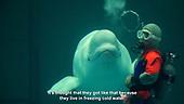 Nack, the beluga that talks