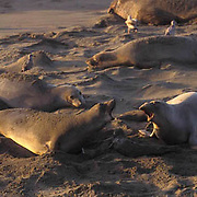 Northern Elephant Seal, (Mirounga angustirostris)  Female with with newborn pup, vocalizing with another female. California.
