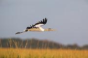 Woodstork Gliding over marsh