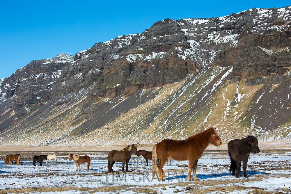 Herd of Icelandic ponies at Huammur in the lee of Eyjafjallajokul icecap in Thorskmork Valley, Katla Geopark, South Iceland