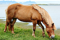 Icelandic Horse Grazing Along the South East Coast of Iceland.  Image taken with a Nikon 1 V2 camera and 32 mm f/1.2 lens (ISO 160, 32 mm, f/2.8, 1/1000 sec). Nikonians Academy Iceland Photo Adventure