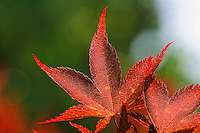 Spring Maple Leaves. Nikon D300 and 200 mm f/4 macro (ISO 200, 200 mm, f/8, 1/500 sec)..