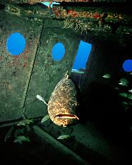 Goliath Grouper / Jewfish