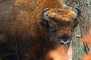 Big bull European bison, Bison bonasus, Drawsko Military area, Western Pomerania, Poland
