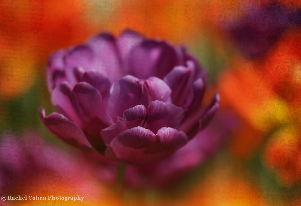 """""""Tulip Tapestry"""" <br /> <br /> Like a tapestry of rich and royal hue! A beautiful deep purple tulip with partially open petals among orange and yellow tulips in the background."""