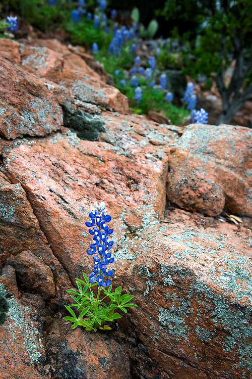 """""""Wildflowers"""" by Dolly Parton. Inks Lake State Park, Burnet, Texas"""