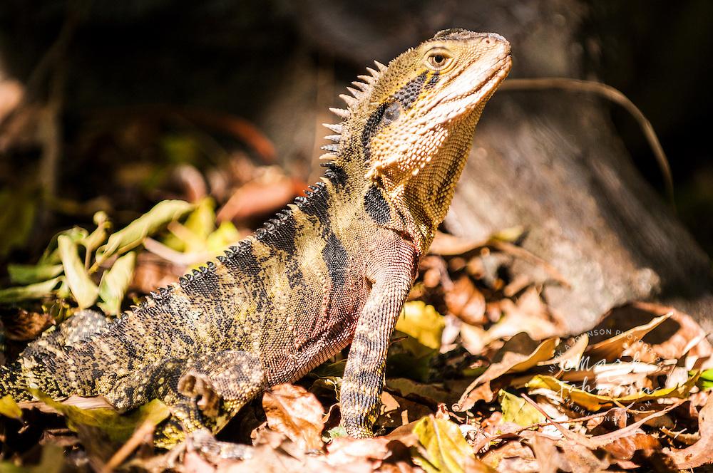 Water Dragon, Mt. Coot-ha Botanic Gardens, Brisbane, Queensland, Australia