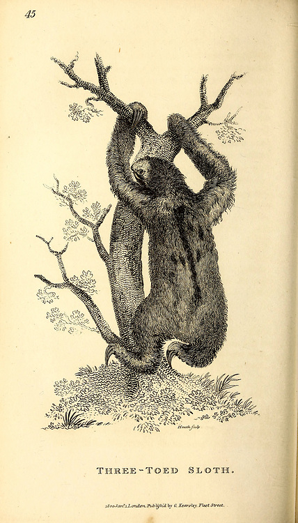 Three-toed Sloth from General zoology, or, Systematic natural history Part I, by Shaw, George, 1751-1813; Stephens, James Francis, 1792-1853; Heath, Charles, 1785-1848, engraver; Griffith, Mrs., engraver; Chappelow. Copperplate Printed in London in 1800. Probably the artists never saw a live specimen