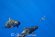 a pod of short-finned pilot whales, Globicephala macrorhynchus, is followed by an oceanic whitetip shark, Carcharhinus longimanus, south Kona Coast, Hawaii, U.S.A. ( Central Pacific Ocean ); the shark feeds on feces and regurgitations of the whales, and may also utilize the whales to guide it to concentrations of prey