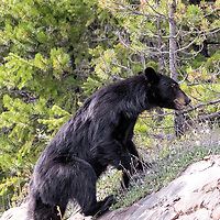Black bear foraging alongside the road, climbs up the hillside to avoid humans. Jasper National Park, Canada