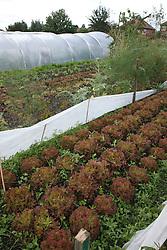 Trinity Organic Farm, Nottinghamshire - lettuces
