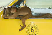 White-fronted capuchin monkey (Cebus albifrons) confronting its own reflection in the wing mirror of a car, Puerto Misahualli, Amazon rainforest, Ecuador, South America~ January 2005 December 2004