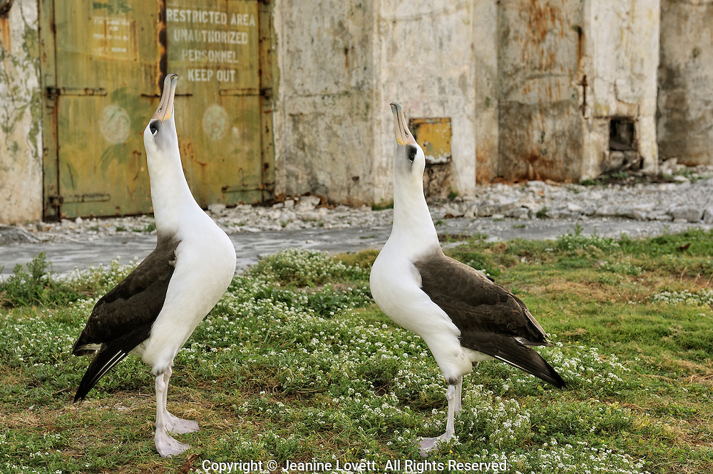 Peeling lead paint from old Navy base affects up to 10,000 chicks per year from paint on buildings at Midway Atoll. Two laysan albatross courtship dance and display.