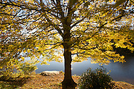 A golden tree stands along the shores of Price Lake, along the Blue Ridge Parkway of North Carolina