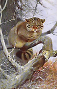 Wild Cat (Felis silvestris here as Felis catus) from the book '  Animal portraiture ' by Richard Lydekker, and illustrated by Wilhelm Kuhnert, Published in London by Frederick Warne & Co. in 1912