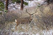 A trophy sized Colorado mule deer (Odocoileus hemionus)buck during the autumn rut