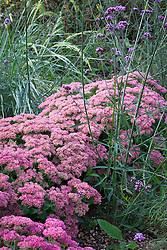 Sedum (Herbstfreude Group) 'Herbstfreude' syn. Sedum spectabile 'Autumn Joy', Sedum 'Indian Chief'.  Stonecrop