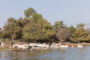 Cattle drink and cross the Niger River at Segou, Mali