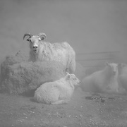 Sheep warming up in steam from natural hot spring in Iceland