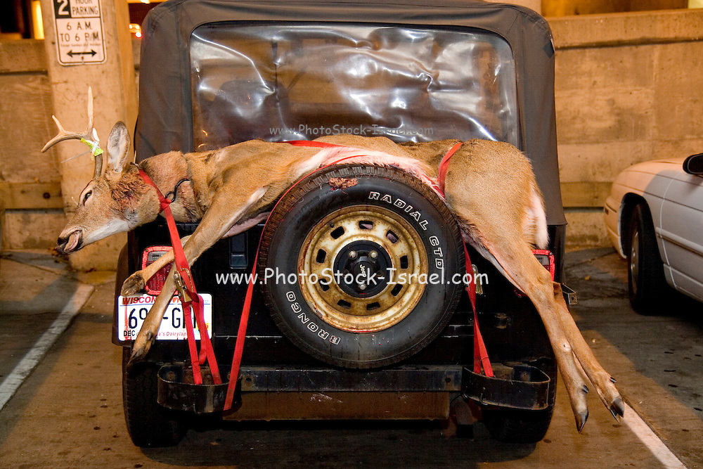 Wisconsin USA, a bleeding hunted deer strapped to the back of a Jeep. November 2006