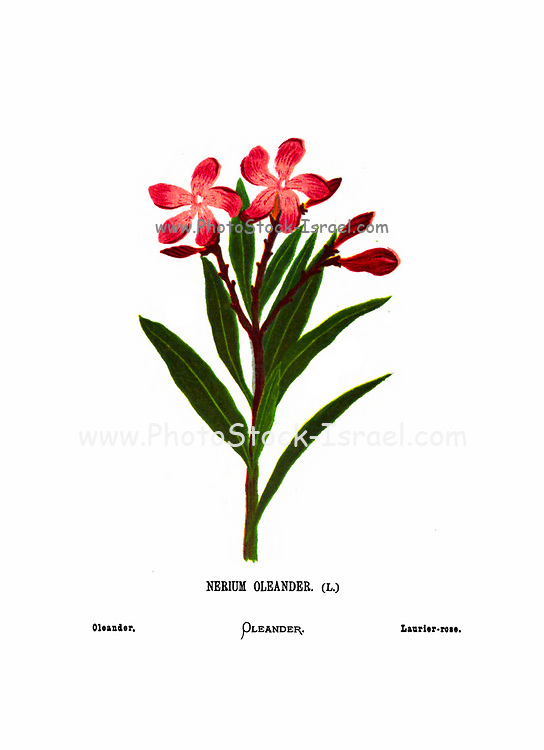 Nerium oleander most commonly known as nerium or oleander From the book Wild flowers of the Holy Land: Fifty-Four Plates Printed In Colours, Drawn And Painted After Nature. by Mrs. Hannah Zeller, (Gobat); Tristram, H. B. (Henry Baker), and Edward Atkinson, Published in London by James Nisbet & Co 1876 on white background