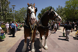 Stock photo of clydesdale horses entering the park during it's grand opening