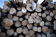Photo Randy Vanderveen.Grande Prairie, Alberta.A deck of harvested logs.  The trees harvested to control mountain pine beetle are utilized as much as possible for lumber, pulp or hog fuel for an area electrical co-gen plant.