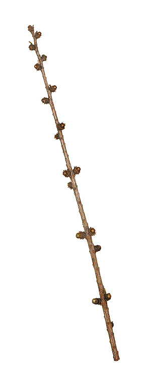 European Larch - Larix decidua<br /> winter twig