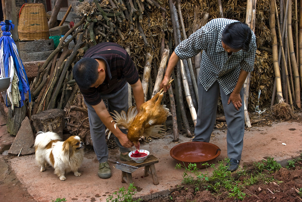 A dog looks on impatiently as men slaughter a chicken for visitors at the home of Lan Guihua, a widowed farmer living in Ganjiagou Village, Sichuan Province, China.  (Lan Guihua is featured in the book What I Eat: Around the World in 80 Diets.) In this region, each rural family is its own little food factory and benefits from thousands of years of agricultural knowledge passed down from generation to generation.