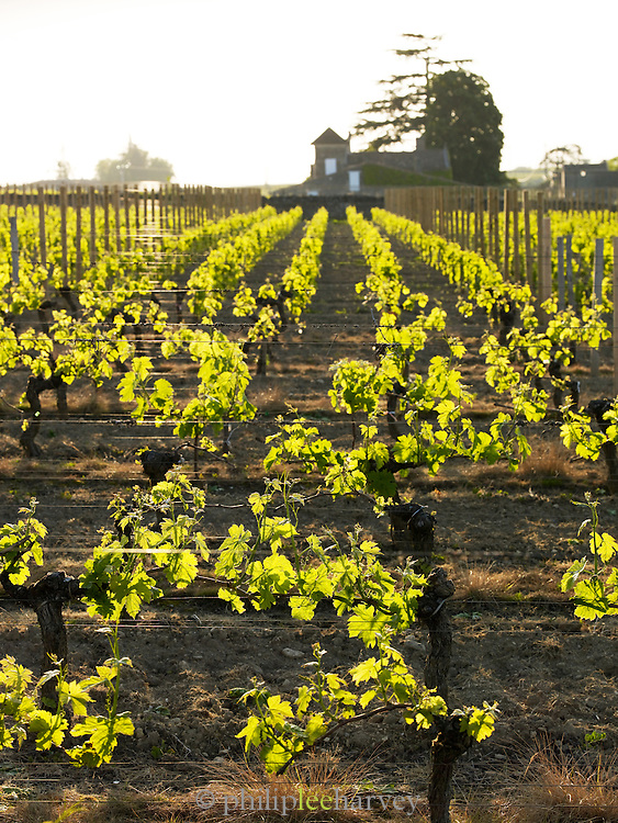 Vineyards outside St Emilion, Dordogne, France, Europe