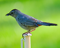 Gray Catbird. Image taken with a Fuji X-T2 camera and 100-400 mm OIS telephoto zoom lens.