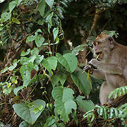 Long-tailed Macaque, (Macaca fascicular) In rain forest feeding on vegetation. Malaysia.