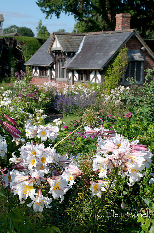 Lilium regale at Arley Hall Gardens, Northwich, Chesire, UK
