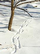 Fresh deer tracks through the snow, Fitchburg, Wisconsin, USA