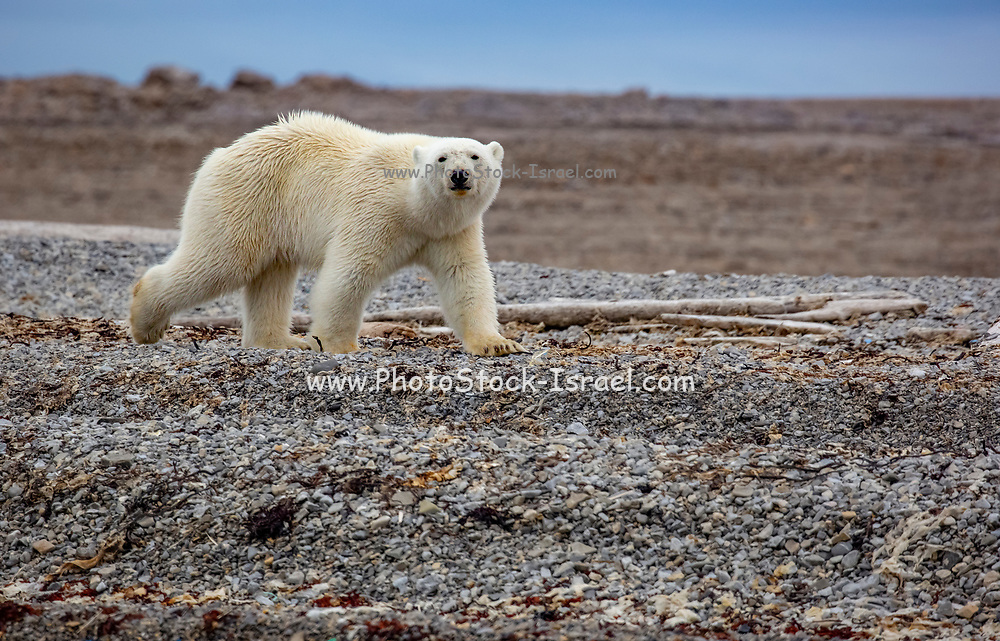 Polar Bear (Ursus maritimus) on the summer Arctic tundra